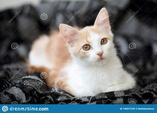 Portrait-young-white-light-ginger-tabby-cat-beautiful-motley-copper-coloured-eyes-resting-home-130377239