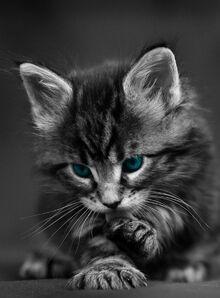 Maine-Coon-kitten-dark-grey-1536x2048