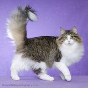 Norwegian Forest Cat 3