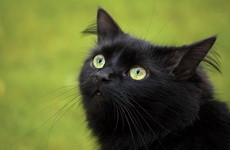 Black cat looks up