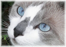 Gray-and-white-cats-with-blue-eyes-silversnow