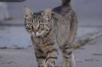 Brown tabby 3 by lakela-d552eol