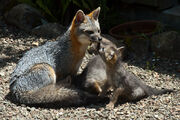 Gray Fox Mom with Kits by Kathryn Hile