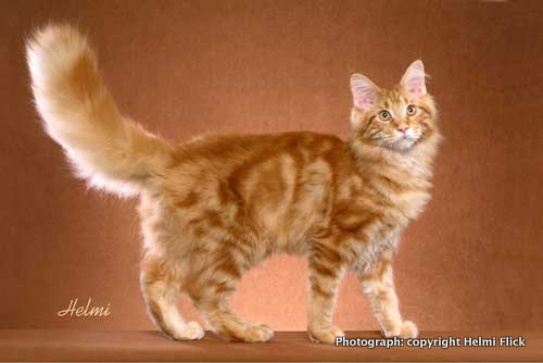 File:Orange-tabby-cat-1.jpg