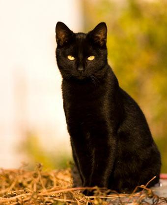 File:Black-cat.jpg