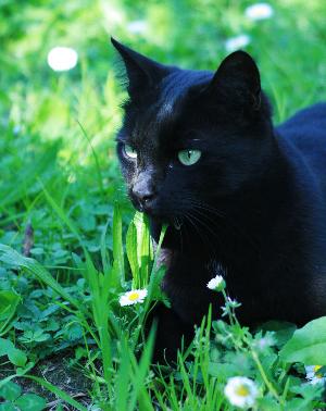 File:Black cat with green eyes.jpg