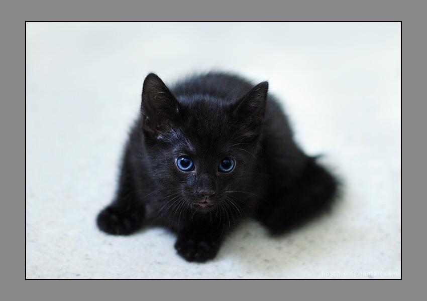 Little black kitten by hoschie