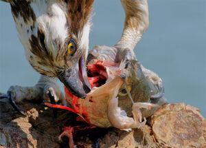 Pandion haliaetus -San Francisco Bay, California, USA-eating fish-8 (1)