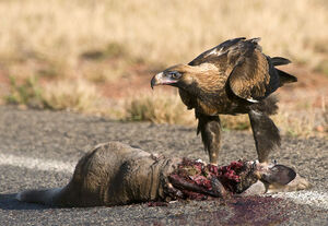 WedgetailEagleCarrion