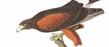 Baywing by audubon