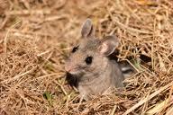 File:Mouse Bile.jpg