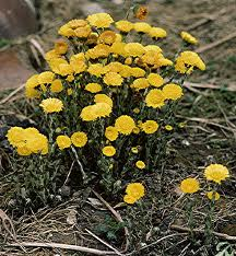 File:Coltsfoot.jpg