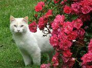 Roses-cat-pink
