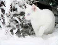 White Snow White Cat II by ace of