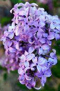 Lilacs1.may 29.2011