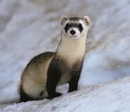 Black footed ferret2