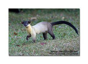 Yellow-throated-marten