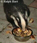 Badgers midhurst2