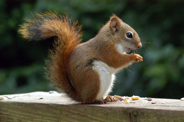 File:Red-squirrel.jpg