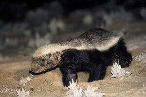 Honey badger 01