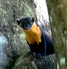 Nilgiri-marten-at-periyar