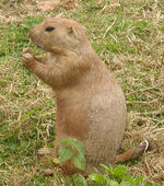 Prairie.dog.600pix