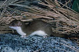 File:Short-tailed Weasel.jpg