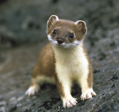 File:Stoat.jpg