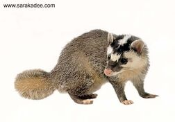 Ferret-badger480