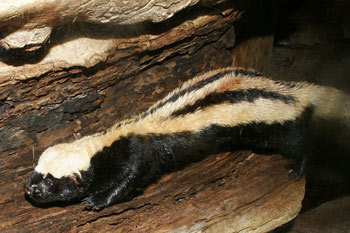 File:African striped weasel 1.jpg