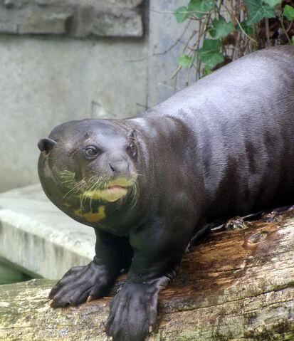 File:Giant otter 2.jpg