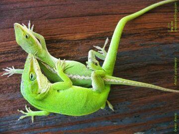 File:Lizards.jpg