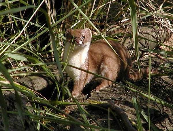 File:Colombian weasel.jpg