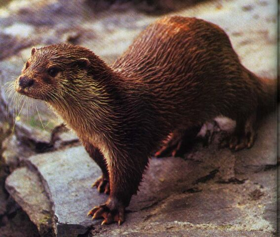 File:European Otter- JPEG.jpg