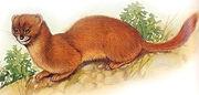 Mountain Weasel