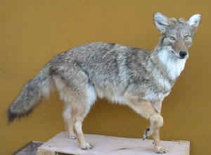 File:Cayote.jpg