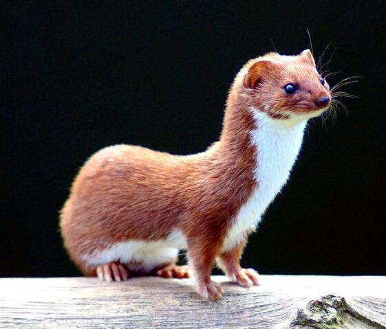 File:Mustela nivalis -British Wildlife Centre-4.jpg