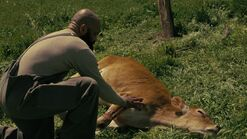 Ww s3e1 Bernard with cow
