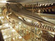 Harvard Museum of Natural History 14 OTIS