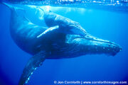 Humpback-Whale-Mother-Calf-2