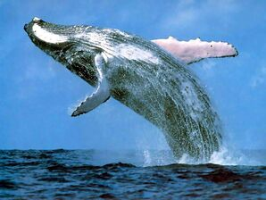 Blue-whale-pictures 3