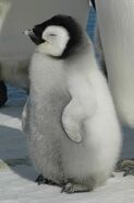 Cute-baby-penguin-chick