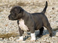 Pitbull puppies pictures 2013