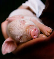 Cute Piglets Pictures 1