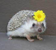 Hedgehog-with-flower-t6vc3r