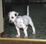 1310538308 226516428 1-dalmatian-puppies-excellent-quality-for-sale-9676868837-0