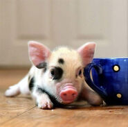 Cute Piglets Pictures 5