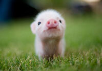 Cute Piglets Pictures 3