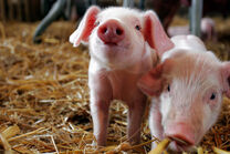 Cute Piglets Pictures