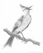 Mockingjay bird drawing ©2012 Laura G. Young